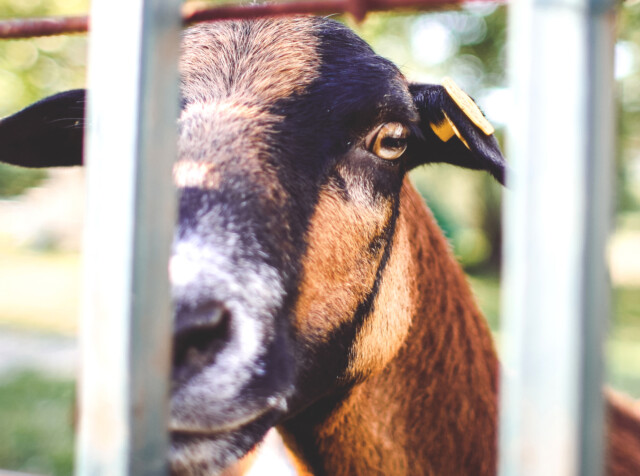 Goat Looking Over The Fence